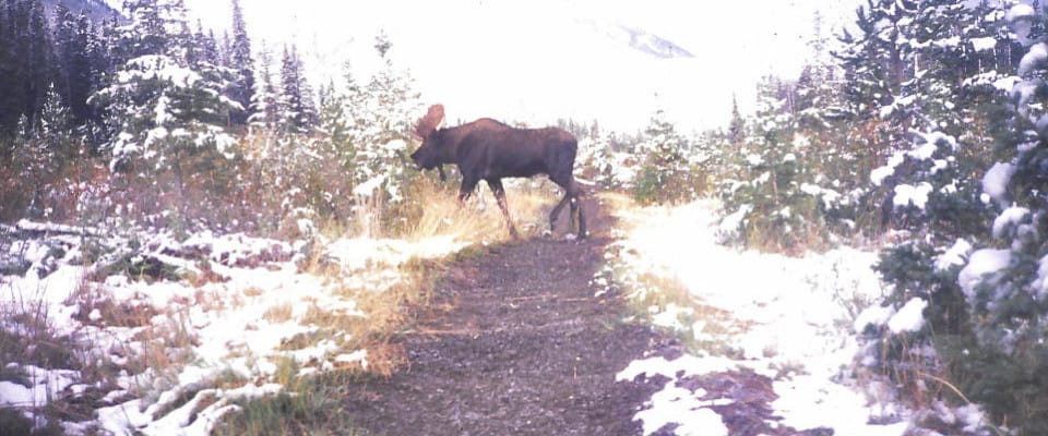 moose960x400